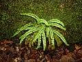 Maidenhair spleenwort (Pancake B).jpg