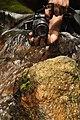 Malabar Torrent Dart from Valparai Anamalai hills DSC 2879.JPG