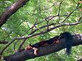 Malabar giant squirrel Ratufa indica 2.JPG