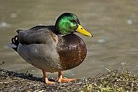 Male mallard duck 2.jpg