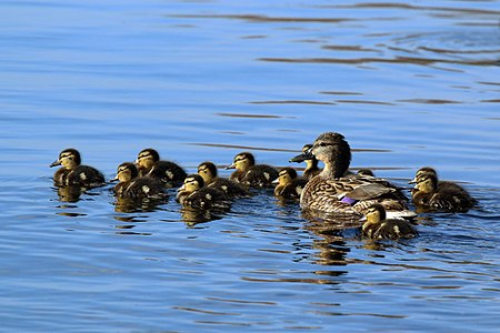 Mallard duck and 12 chicks