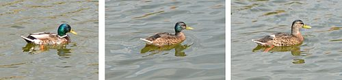A male Mallard gradually entering eclipse plumage during the summer moulting period.