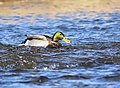 Mallard on Seedskadee National Wildlife Refuge (41187582771).jpg