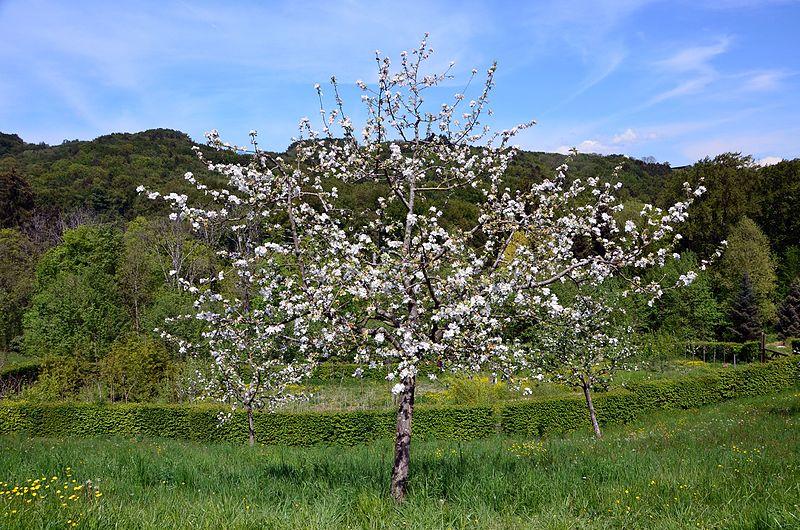 Fichier malus domestica grise vaudoise jpg wikip dia for Domestica in svizzera