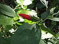 Malvaviscus arboreus mexicanus-3-yercaud-salem-India.JPG