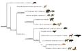 Mammalia phylogeny (eng).png
