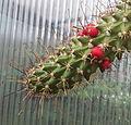 Mammillaria poselgeri fruits.jpg