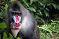 Mandril at Singapore Zoo (24078012750).jpg