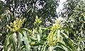 Mango-Flowering10.jpg