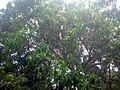 Mango tree 1.JPG