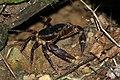 Manicou crab (Rodriguezus garmani) juvenile.jpg
