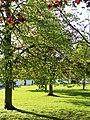 Maples in Spring, London N14 - geograph.org.uk - 1262839.jpg