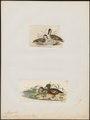 Mareca punctata - 1700-1880 - Print - Iconographia Zoologica - Special Collections University of Amsterdam - UBA01 IZ17600337.tif