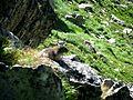 Marmotă în Retezat (1).jpg