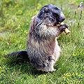 Marmota marmota 05.jpg