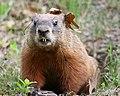 Marmota monax UL 16.jpg