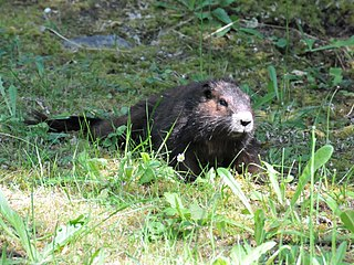 Vancouver Island marmot Species of rodent