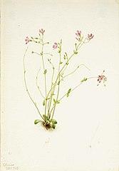 Naiad Spring Beauty (Claytonia parvifolia)