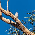 Masked woodswallow Sandy Channel Boulia Shire Central Western Queensland P1080905.jpg