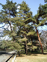 Alternate name: Korean Red Pine.