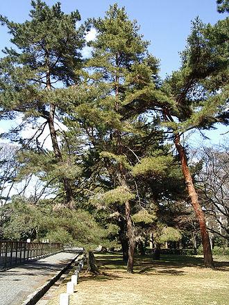 Pinus densiflora - Image: Matsu 01