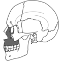 Maxilla Simple.png