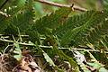 May be Dryopteris uniformis (17301374105).jpg