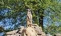 Meerkat (260233661).jpeg
