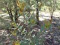 Melaleuca fulgens subsp. steedmanii foliage.jpg