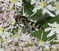 Melangyna labiatarum (female) - Flickr - S. Rae (13).jpg