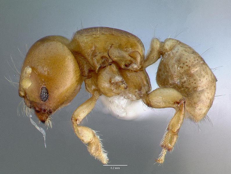 File:Melissotarsus insularis casent0426119 profile 1.jpg