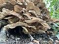 Meripilus giganteus 101211263.jpg