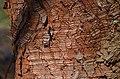 Metasequoia glyptostroboides (48-045-A) Trunk Bark.JPG