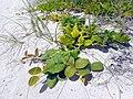 Miami Beach - South Beach Sand Dune Flora - Ipomoea pes-caprae (28).jpg