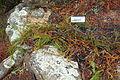 Microcachrys tetragona - UC Santa Cruz Arboretum - DSC07410.JPG