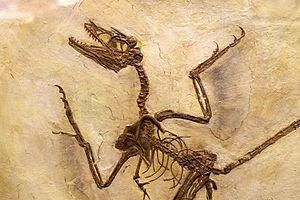 Microraptor - Close-up of a cast