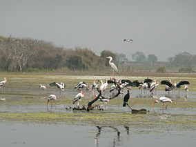 Migratory Birds Manjira Wildlife Sanctuary.JPG