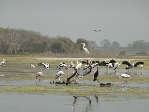 Manjira Wildlife Sanctuary - Image: Migratory Birds Manjira Wildlife Sanctuary