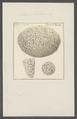 Millepora tortuosa - - Print - Iconographia Zoologica - Special Collections University of Amsterdam - UBAINV0274 111 07 0021.tif