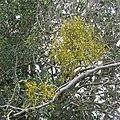 Mistletoe growing on holly, Broomy Plain, New Forest - geograph.org.uk - 335942.jpg