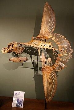 Mola mola-Skelett, Naturhistorisches Museum Wien