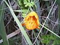 Momordica balsamina - an intruder to Hawaii (8380123566).jpg