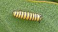 Monarch (Danaus plexippus) Larva - MacGregor Point Provincial Park.jpg