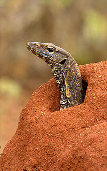 Monitor Lizard by N. A. Naseer.jpg