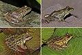 Montane leopard frog (Lithobates taylori) composite.jpg