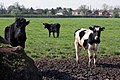 More Cattle in a field - geograph.org.uk - 781920.jpg