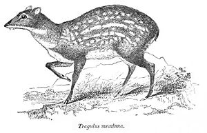 "Moschiola - ""Tragulus meminna""  from the Fauna of British India"
