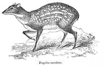 "Moschiola - ""Tragulus meminna""  from the Fauna of British India"