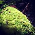 Moss (43411638).jpeg