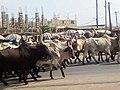 Mouvements de bœufs à Bonaberi Douala.jpg